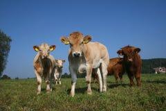 新的公牛 库存图片