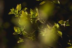 新的叶子在春天 免版税库存图片