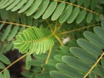 新的叶子的迷离菜蜂鸟开花 免版税库存图片