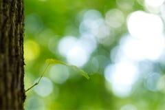新的叶子诞生在早期的春天 免版税库存照片