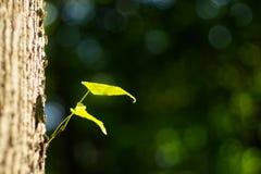 新的叶子诞生在早期的春天 图库摄影