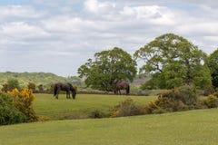 新的吃草在欧石南丛生的荒野的森林野生小马 库存图片