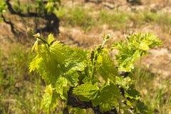 新的季节葡萄树细节 库存照片