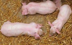 新的小猪 免版税库存照片
