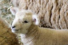 新的小羊羔 库存图片