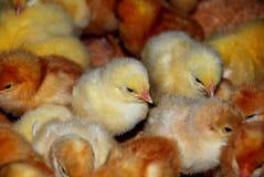新的小鸡 库存图片