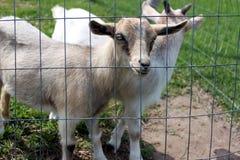 新的山羊 库存图片