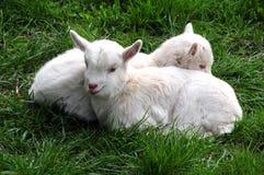 新的山羊 免版税库存图片