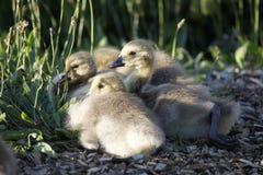 新的幼鹅 库存图片