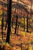 新的成长在森林火灾被烧的吠声被烧焦的树以后开始 图库摄影