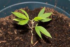 新的成长医疗大麻 库存图片
