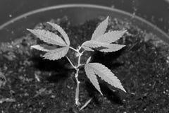 新的成长医疗大麻 免版税库存照片