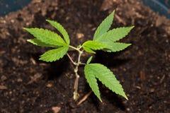新的成长医疗大麻 免版税图库摄影