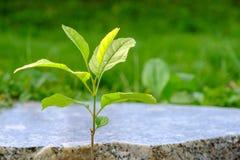 新的新芽,通过企业断裂的概念 免版税库存图片
