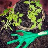 新的新鲜的蕃茄幼木 春天和干净的吃概念的标志 图库摄影