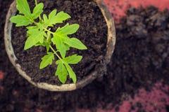 新的新鲜的蕃茄幼木 春天和干净的吃概念的标志 免版税库存图片