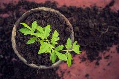 新的新鲜的蕃茄幼木 春天和干净的吃概念的标志 免版税库存照片