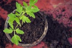 新的新鲜的蕃茄幼木 春天和干净的吃概念的标志 库存照片