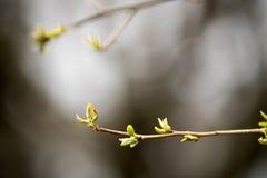 新的春天叶子特写镜头反对阴暗天空背景的 库存照片