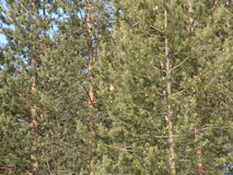 新的杉树 免版税库存照片