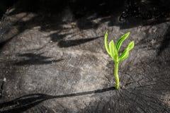新的树成长在死的树当企业概念 免版税库存图片