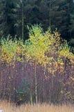 新的桦树 库存照片