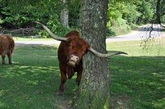 新的森林公牛摩擦垫铁 免版税库存图片