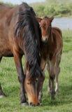 新的森林小马和驹 库存照片