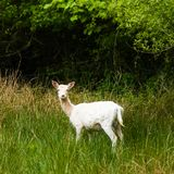 新的森林白色鹿 图库摄影
