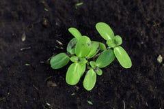 新的植物发芽在棕色土壤背景的向日葵特写镜头  免版税图库摄影