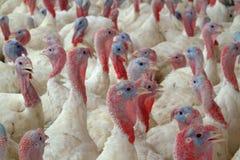 新的火鸡 免版税库存图片