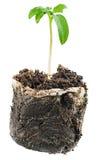 新的生活 在种植的树苗在开放地面前 免版税库存照片