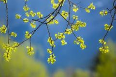 新的白杨木树叶子 免版税库存照片