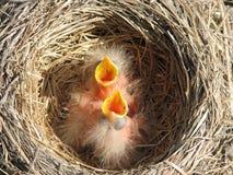 新的知更鸟 库存照片