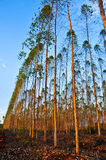 桉树树看法纸产业的 免版税库存照片