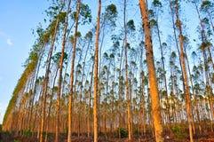 桉树树看法纸产业的 库存图片