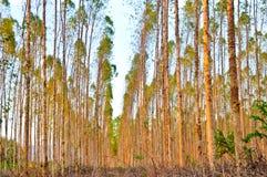 桉树树看法纸产业的 库存照片
