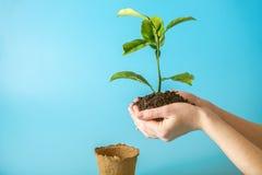 新的绿色树新芽在土壤的在蓝色背景的人的手上 环境保护的概念 变褐环境叶子去去的绿色拥抱本质说明说法口号文本结构树的包括的日地球 免版税库存图片