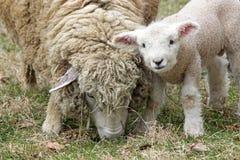 新的羊羔 图库摄影