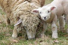 新的羊羔 免版税库存图片
