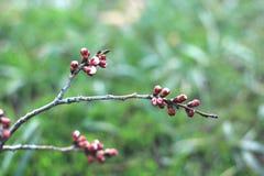 新的芽杏子在春天 免版税图库摄影