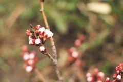 新的芽杏子在春天 库存图片