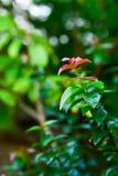 新的苏里南樱桃树的上面 库存图片