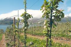 新的苹果在Hardanger,挪威从事园艺 免版税库存图片