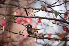 新的荷兰Honeyeater鸟 库存照片