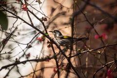 新的荷兰Honeyeater鸟 图库摄影