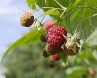 新的莓 图库摄影