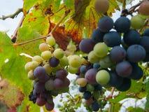 新的葡萄 库存照片