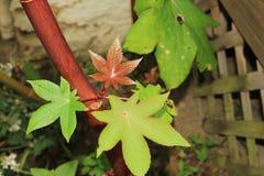 新的蓖麻籽在植物的大茎离开 免版税库存照片