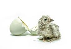新的被孵化的鸡 免版税图库摄影